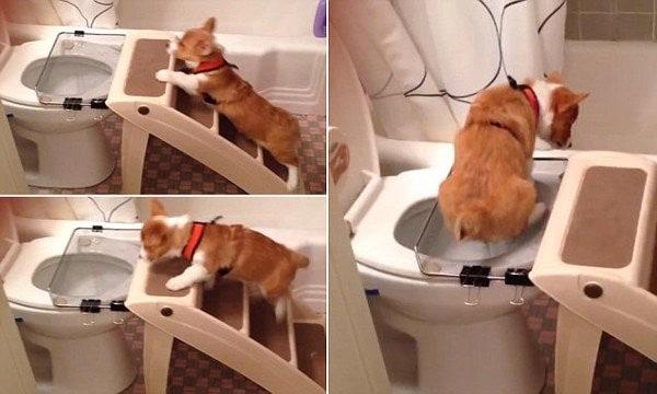 Huấn Luyện Chó đi Vệ Sinh Vào Bồn Cầu